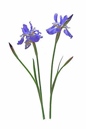 Two deep purple Siberian irises against a white background