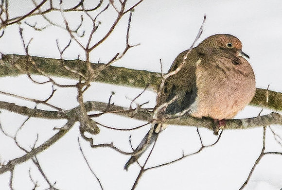 Mourning dove on tree branch