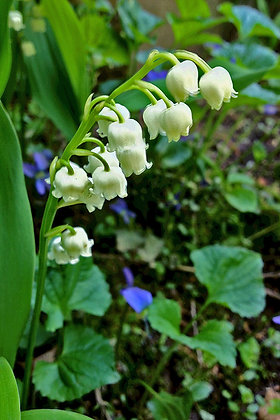 White lily of the valley flowers, with violets in background