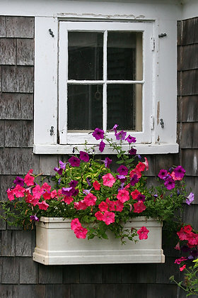 Flower box with pink and purple petunias under a white window, Provincetown, Massachusetts