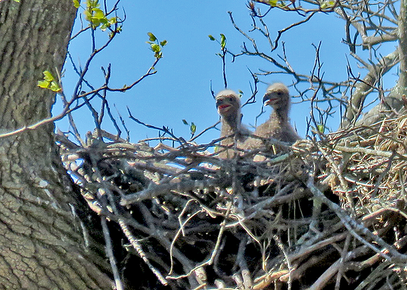 Two baby bald eagles in a nest