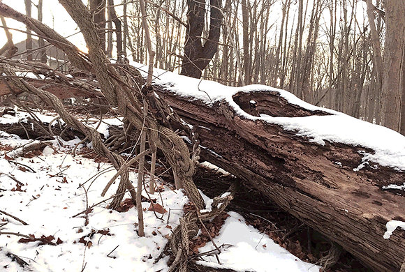 Fallen tree with vines in winter