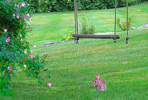 Cottontail rabbit on grass under a swing