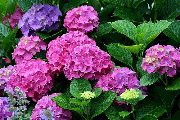 Hydrangea bush with deep pink and purple flowers