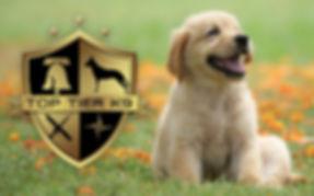 Top-Tier_Lab-Pup.jpg