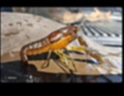 Procambarus lunzi