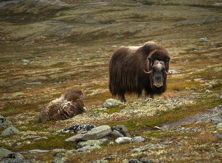 Norwegian Wildlife - Muskox from Dovrefjell national park