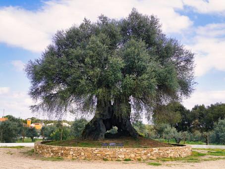 Assinalamos o Dia Mundial da Árvore com a nossa árvore milenar