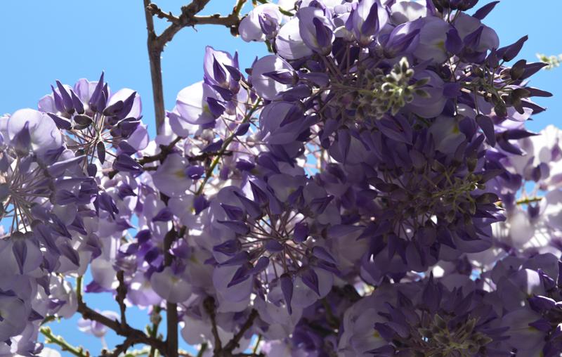 wisteria-800.jpg