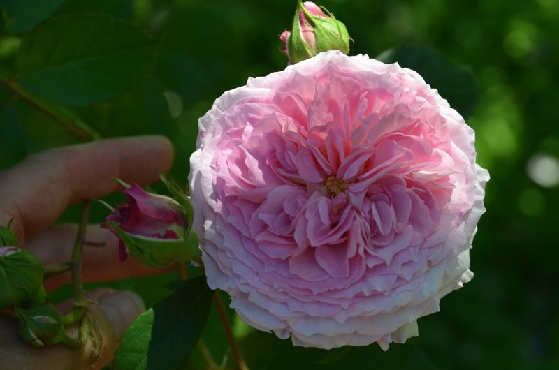 Rose-800.jpg