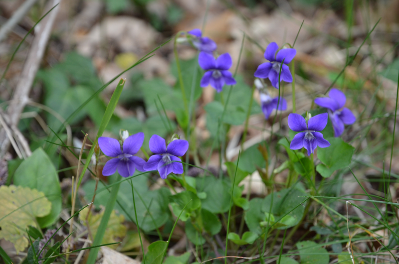 violets-800.jpg