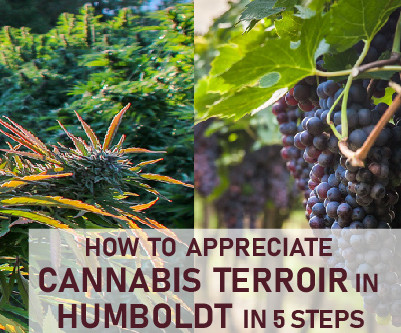 How to appreciate cannabis terroir in Humboldt in 5 steps