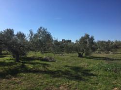 Oliveyard_kesanlis
