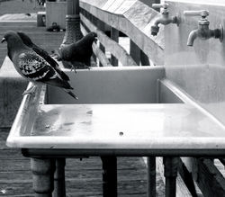 #occupypigeons faucet 2