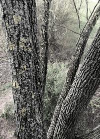Weidenbaumkrone