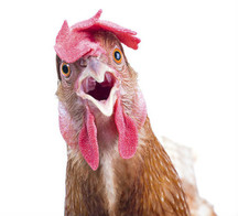 The Purim Chicken
