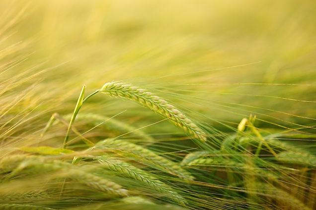 barley .jpg