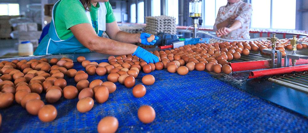 egg manufacturing 2.jpeg