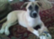 Pitsky pup, Sasha, ESA dog
