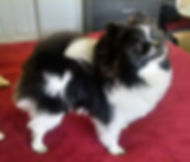 Pomeranian, Rocky Fitzgerald, owned by Andrew Lloyd