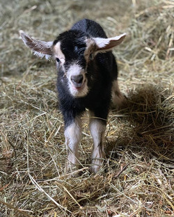 Bonnie is here! Born today in the barn #