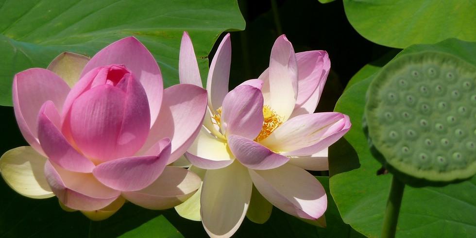 Lotus blossom at l'Etang Fontmerle