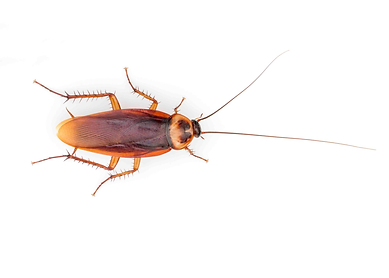 American cockroach from the alleyway cre