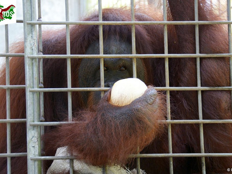 Pony, the Orangutan Prostitute and the Legalities of Bestiality