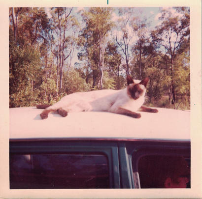 24 - A siamese cat snoozes on the roof