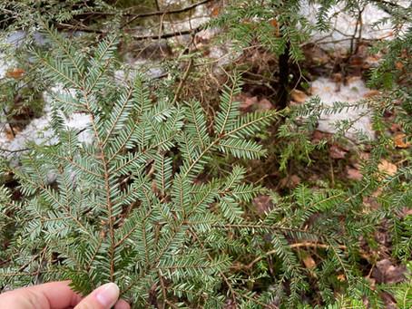 Saving Michigan's Hemlock Trees: Our Fight Against the Hemlock Woolly Adelgid