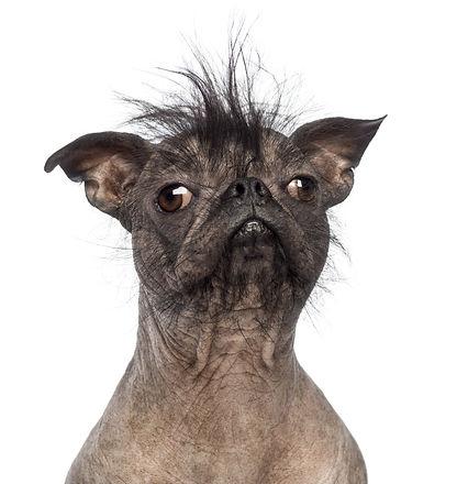 Close-up of a Hairless Mixed-breed dog,