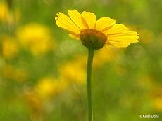 פרח צהוב, קארן סילאין, הנני, רוחניות, רייקי, פרחי באך, טארות, קור