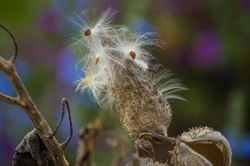Common Milkweed Pod