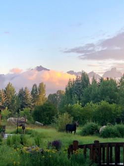 Moose in backyard