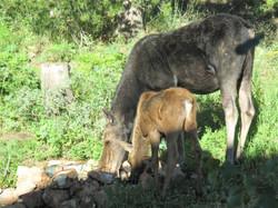 Moose & calf (1 of 1)