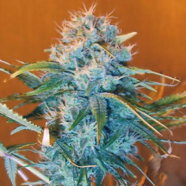 Growing-AK48-marijuana.jpg