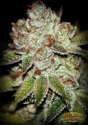 AK-48-Cannabis.jpg