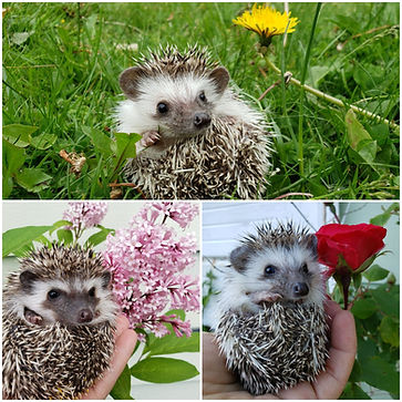 Cactus Flower Exotics Hedgehogs