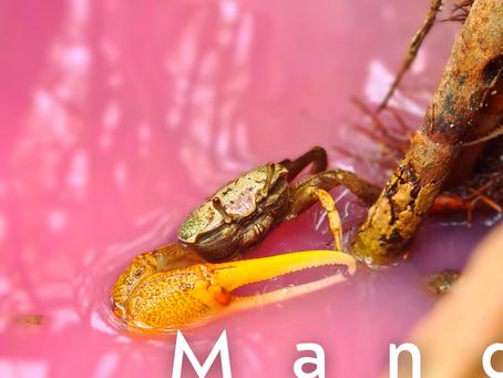 🐢- Découverte : Mangrove rose, Diamant