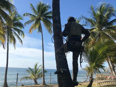 Opération cocotiers à Brise Marine !!!!