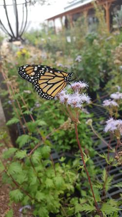 Monarch on Greggs Mistflower