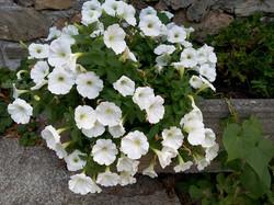 fiori di Elisa