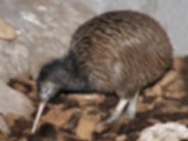 kiwi-600-800.jpg