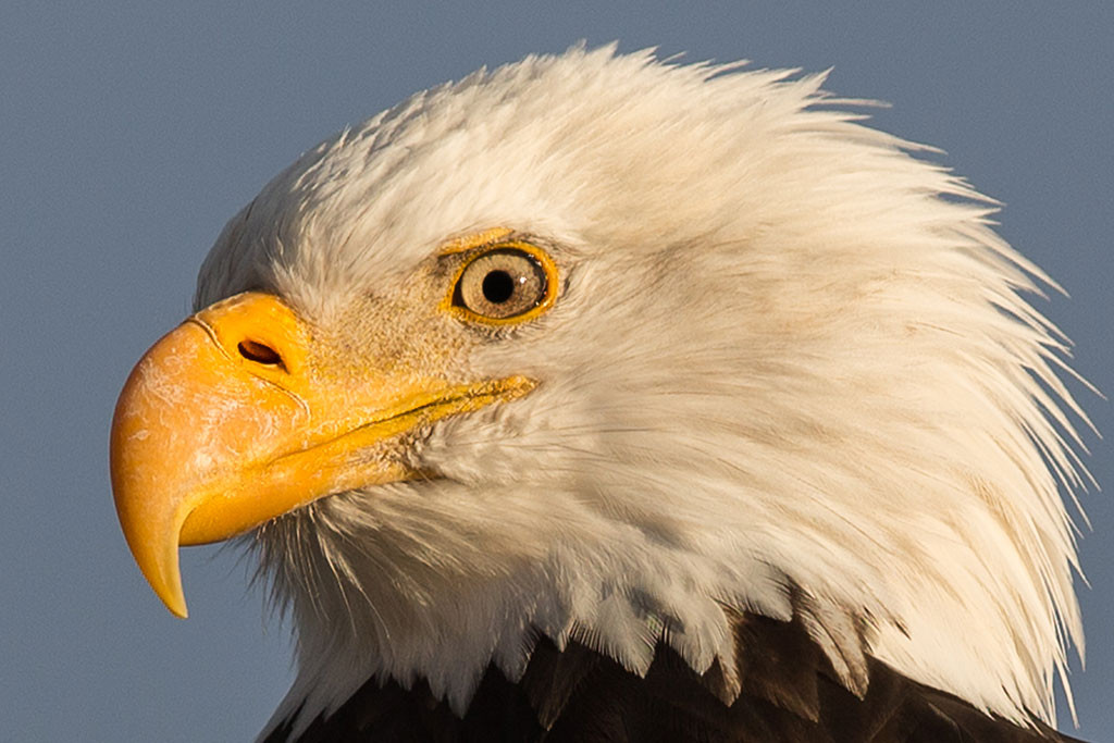 eagle-portrait-2-fb-(1-of-1).jpg