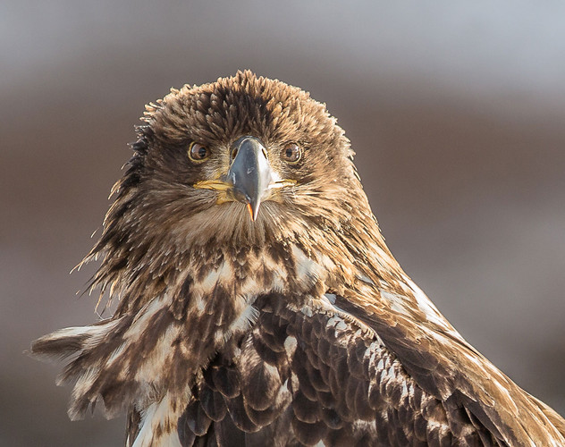 eagle-juvie-close-fb-(1-of-1).jpg