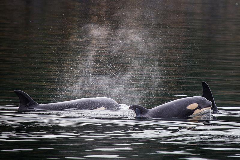 9-6-orcas-(1-of-1).jpg