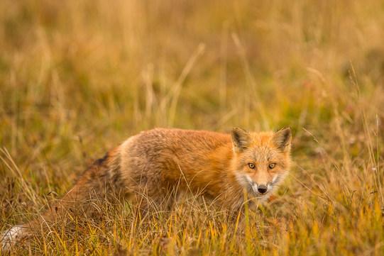 red-fox3--9-26-(1-of-1).jpg