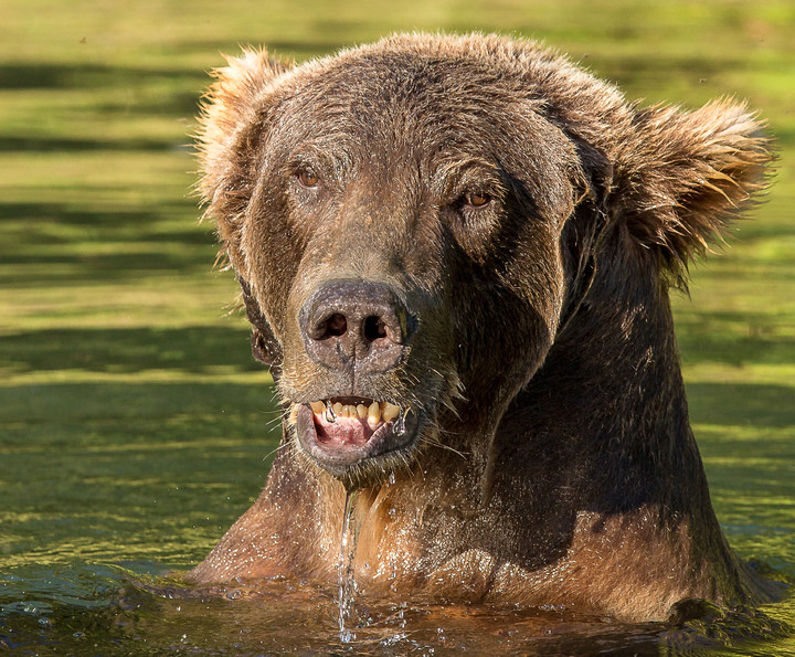 saltery-2018-bear-swimming-with-fish-ext