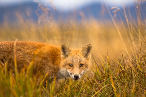 red-fox-9-26-(1-of-1).jpg