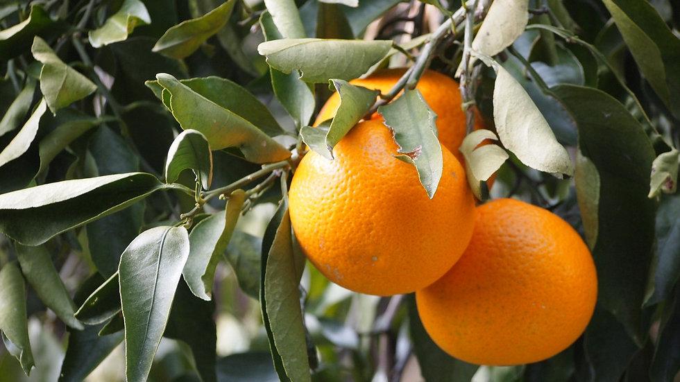 【田村産】清見オレンジ5kg